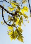 Richter Eiche Baum Blattaustrieb Bluete hellgruen Quercus x richteri 02