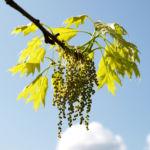 Richter Eiche Baum Blattaustrieb Bluete hellgruen Quercus x richteri 04