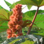 Ricinus Ricinus communis 03