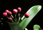 Riemenblatt Klivie Frucht rot Blatt gruen Clivia miniata 01