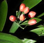 Riemenblatt Klivie Frucht rot Blatt gruen Clivia miniata 05