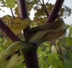 Riesen Baerenklau Frucht gelb gruen Heracleum mantegazzianum 07