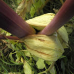 Riesen Baerenklau Frucht gelb gruen Heracleum mantegazzianum 08