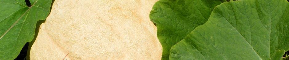 riesen-kuerbis-frucht-braun-cucurbita-maxima