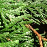 Riesen Lebensbaum Thuja plicata 02