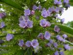 Riesen Natternkopf Bluete blau Echium pininana 03