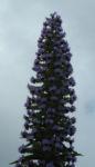 Riesen Natternkopf Bluete blau Echium pininana 04