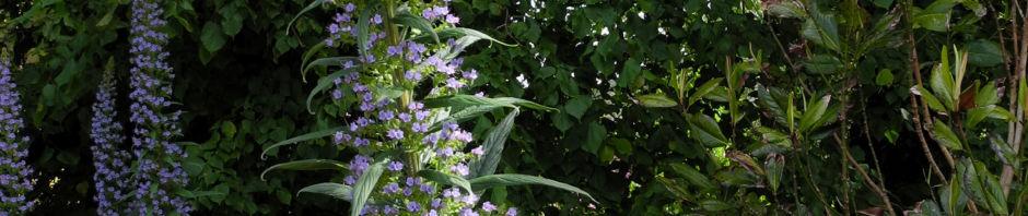 riesen-natternkopf-bluete-blau-echium-pininana