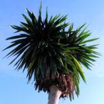 Riesen Palmlilie Blatt gruen Yucca elephantipes 01