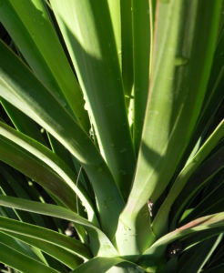 Riesen Palmlilie Blatt gruen Yucca elephantipes 09