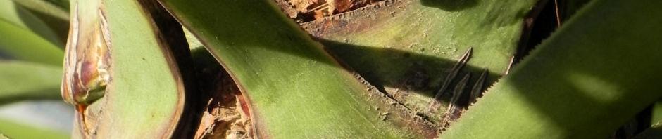 Anklicken um das ganze Bild zu sehen  Riesen Palmlilie Blatt grün Rinde grau braun Yucca elephantipes