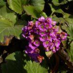 Riesen Steinbrech Bluete Bergenia cordifolia 01