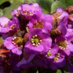 Riesen Steinbrech Bluete Bergenia cordifolia 02