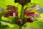 Riesen Taubnessel Bluete purpur Lamium orvala 14