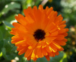 Ringelblume Blüte orange Calendula officinalis 02