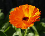 Ringelblume Blüte orange Calendula officinalis 05