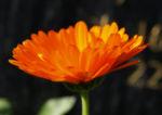 Ringelblume Blüte orange Calendula officinalis 06