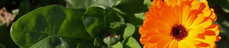 ringelblume-bluete-orange-calendula-officinalis