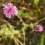 Rispen Flockenblume Bluete pink Centaurea stoebe 02