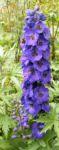 Rittersporn Bluete dunkl lila Consolida ambigua 05