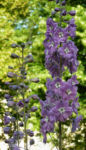 Rittersporn Bluete helllila Delphinium Fanfare 05