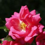 Rose Bluete rose Rosa rosa 07