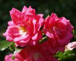 Rose Bluete rose Rosa rosa 09