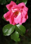 Rose Bluete rose Rosa rosa 10