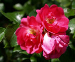 Rose Bluete rose Rosa rosa 11