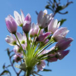 Rosen Lauch Bluete rose Allium roseum 06