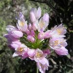 Rosen Lauch Bluete rose Allium roseum 08