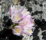 Rosen Lauch Bluete rose Allium roseum 09