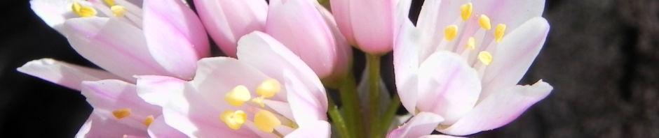 rosen-lauch-bluete-rose-allium-roseum