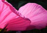 Roseneibisch Bluete pink Hibiscus moscheutos 20