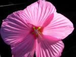 Roseneibisch Bluete pink Hibiscus moscheutos 23
