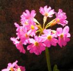 Rosenrote Schluesselblume Bluete rot Primula rosea 01