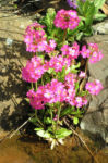 Rosenrote Schluesselblume Bluete rot Primula rosea 02
