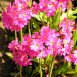 Rosenrote Schluesselblume Bluete rot Primula rosea 04