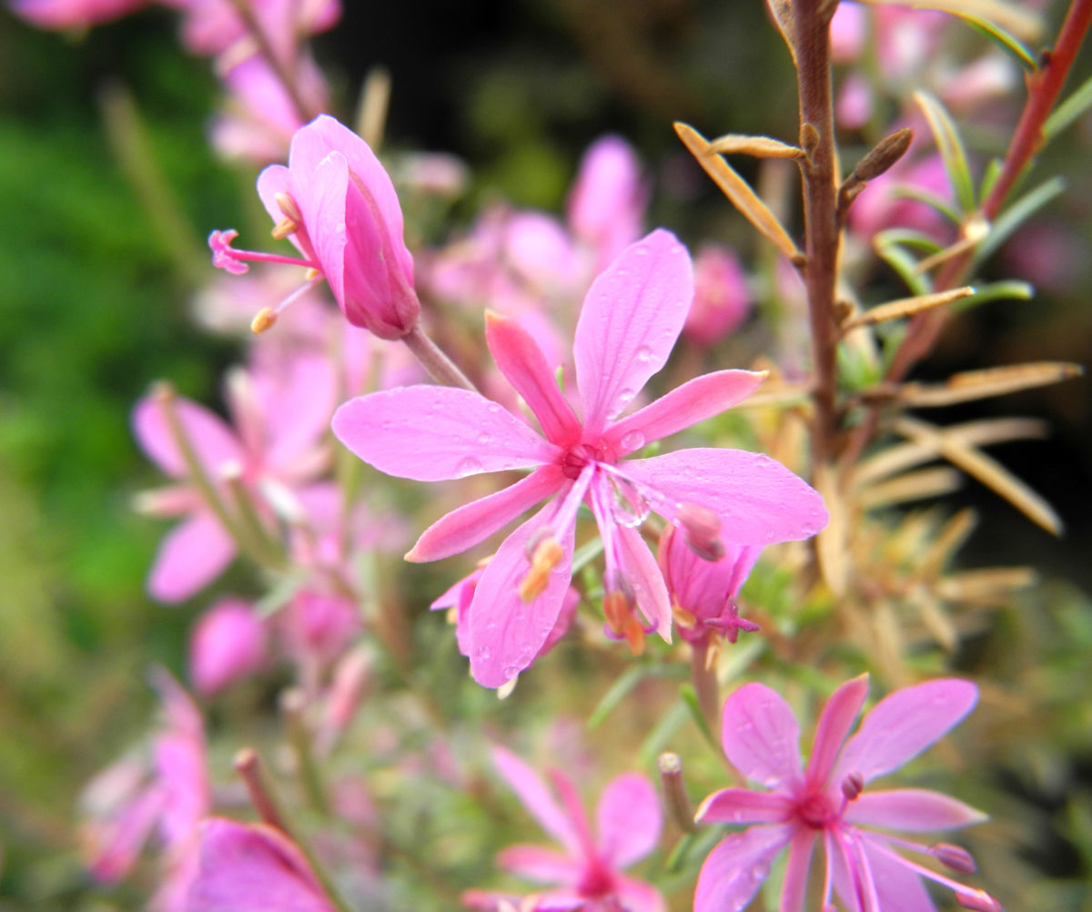Rosmarin Weidenroeschen Bluete pink Epilobium dodonaei