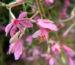 Zurück zum kompletten Bilderset Rosmarin-Weidenröschen Blüte pink Epilobium dodonaei