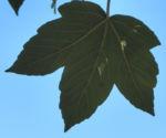 Rot Ahorn Blatt gruen Acer rubrum 15