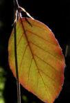 Rot Buche Baum Blatt rot Fagus sylvatica 07
