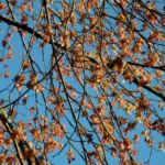 Rotbuche Blatt rot braun Bluete Fagus sylvatica 13