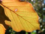 Rotbuche Blatt rot gruen Fagus sylvatica 04