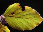 Rotbuche Blatt rot gruen Fagus sylvatica 05