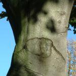Rotbuche Fagus sylvatica 02