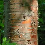 Rote China Birke Rinde roetlich Betula albosinensis 01