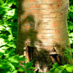 Rote China Birke Rinde roetlich Betula albosinensis 02