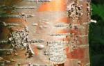 Rote China Birke Rinde roetlich Betula albosinensis 03