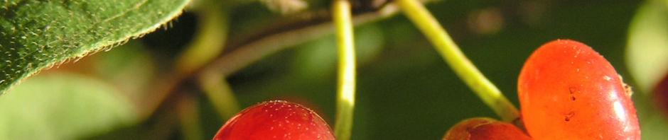 rote-heckenkirsche-frucht-rot-lonicera-xylosteum